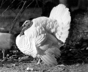 """Small White"" turkey developed at the Beltsville Agricultural Research Center. Photo from the BARC collection"